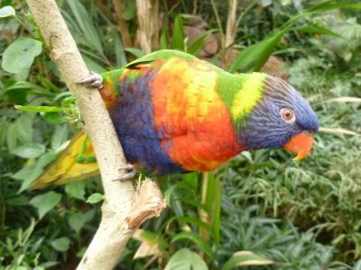 oiseau-loriquet-de-swainson-zoo-honfleur