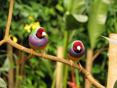 oiseaux-diamant-de-gould-naturospace