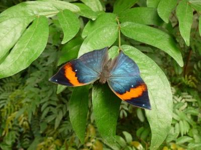kallima-inachus-(malaisie).jpg