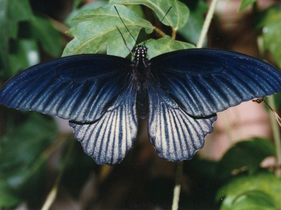 papilio-memnon-male-philippines.jpg