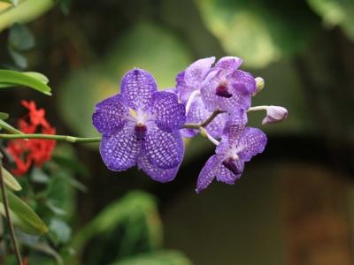 orchidee-vanda-au-naturospace-honfleur-normandie.jpg